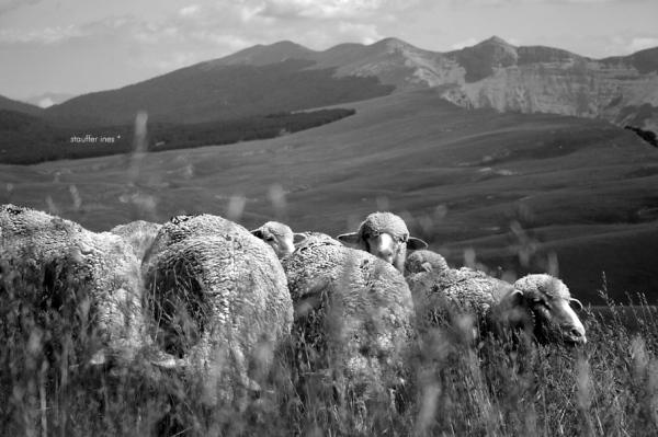 Un mouton au milieu des moutons