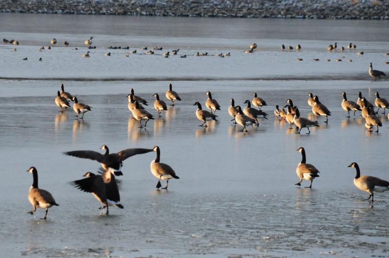 The Ducks seem to like it...