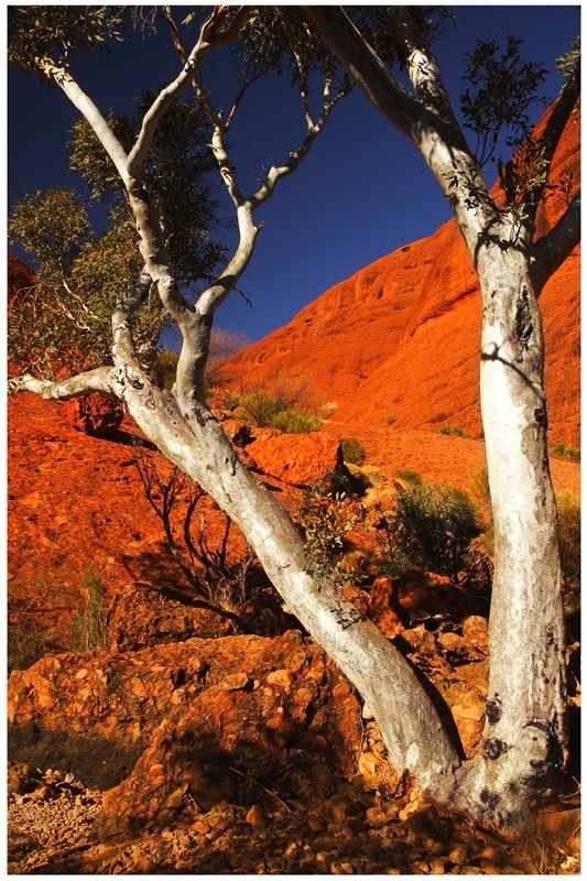 Tree near to the olgas.