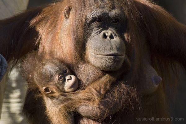 Amo a mi mamá (orangután)