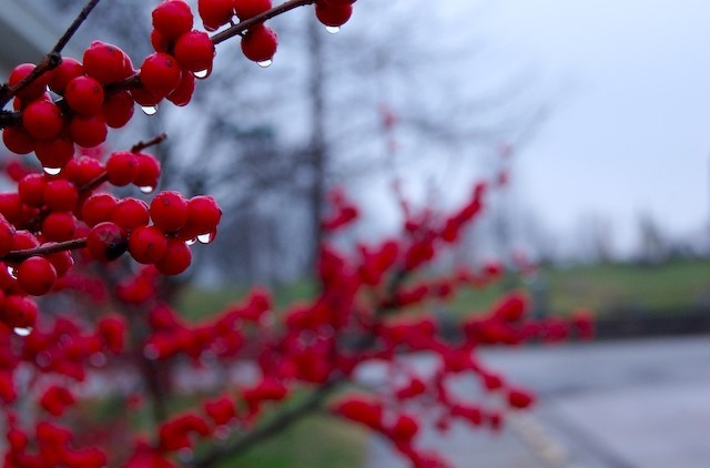 Red Berries on a Cloudy Day