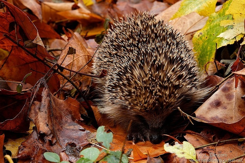 Shy hedgehog hiding in automn colors.