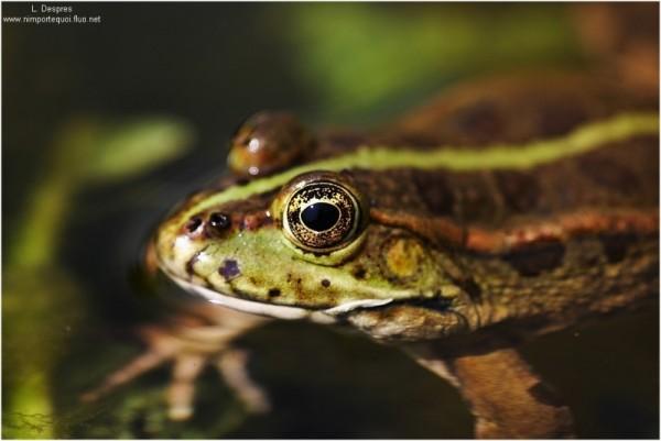 frog eye, oeil de grenouille
