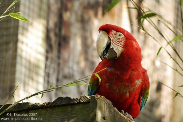 red macaw Greenwing Macaw parrot perroquet rouge