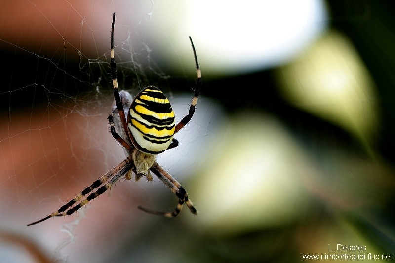 épeire faciée (black & yellow spider eating)