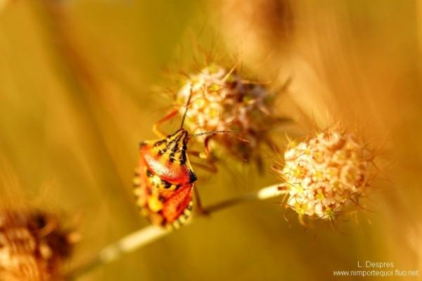Carpocoris mediterraneus insect climbing flower