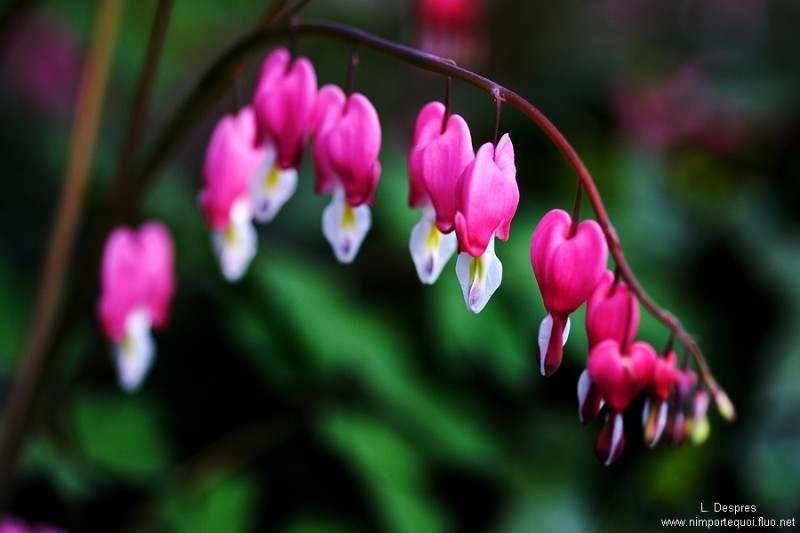 """pink """"small hearts"""" flower"""