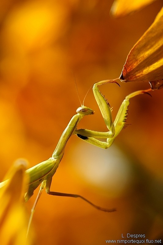 Praying mantis climbing flowers