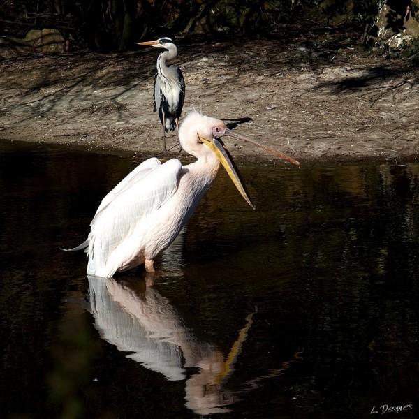 Pelican & Heron