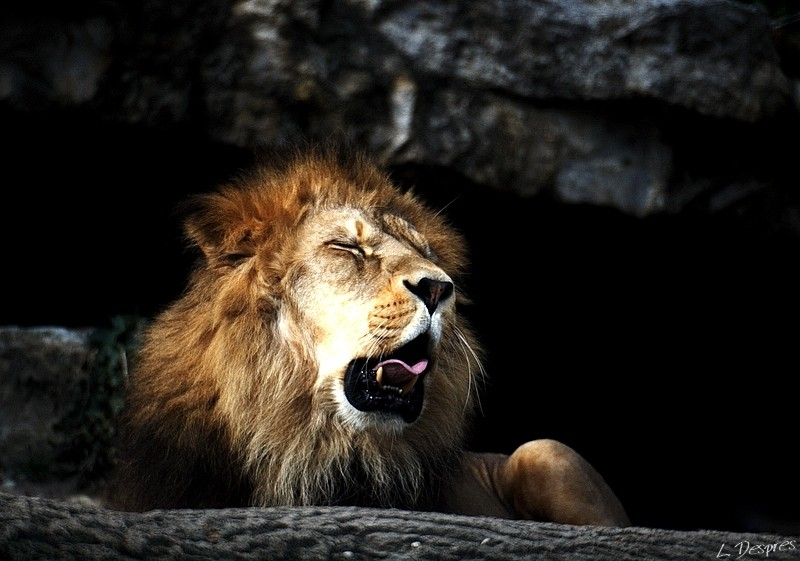 lion yelling