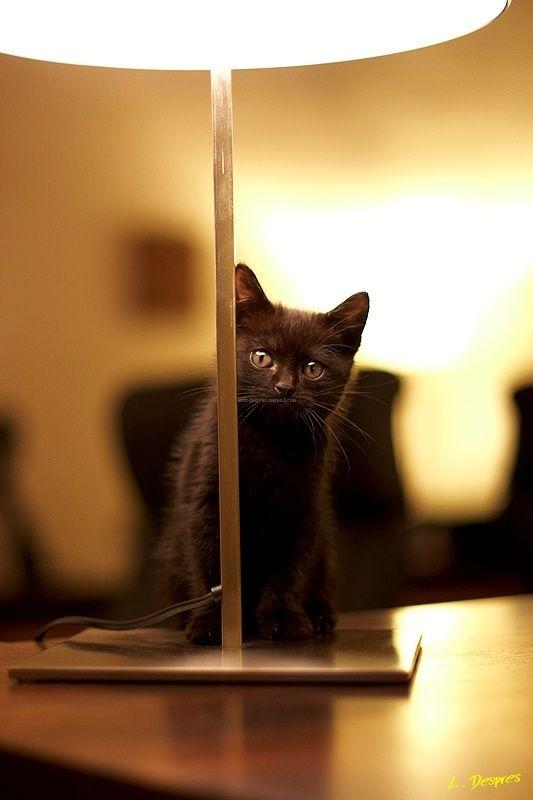 baby black angora cat