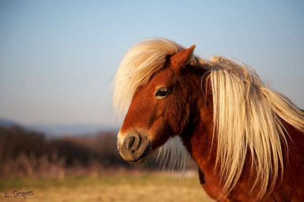 small horse