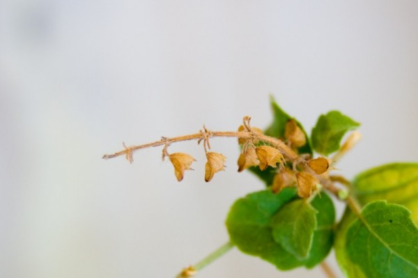 A tulsi bud, up close