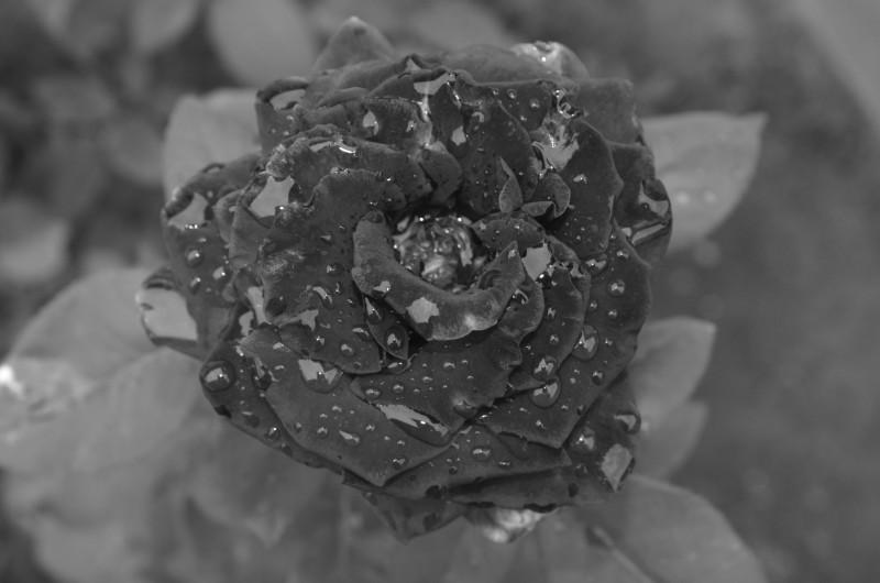 b/w photo of rose