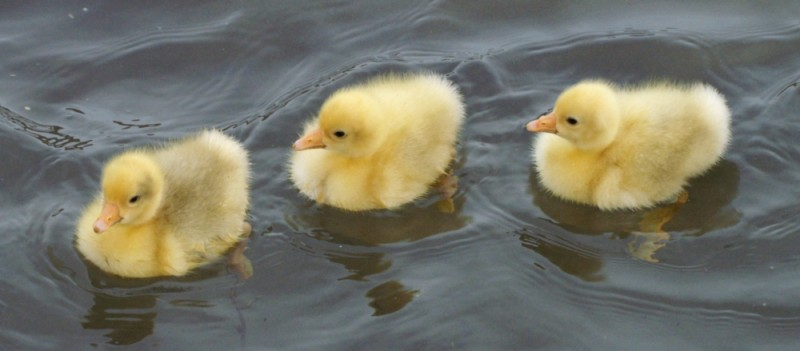 three little yellow fluffballs