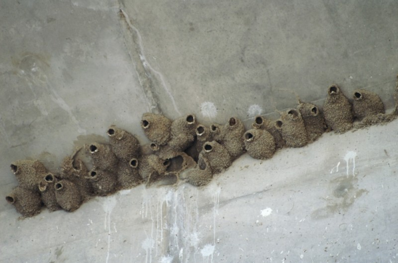 Mud Swallow Nests 65