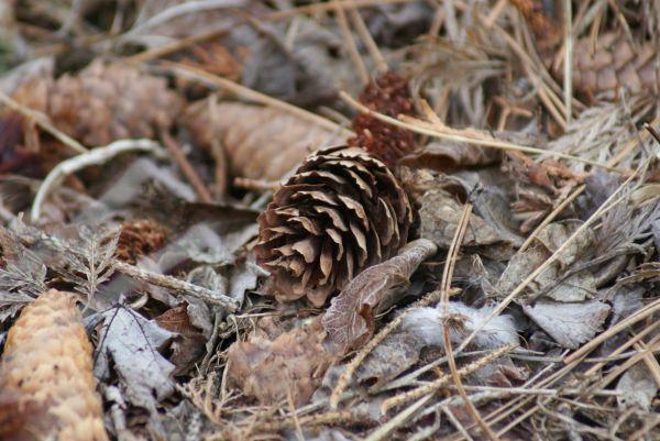 pinecone #3