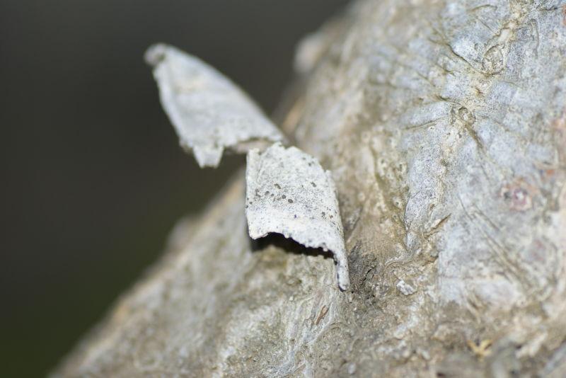 bark peels