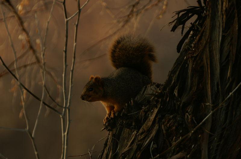 the dark squirrel