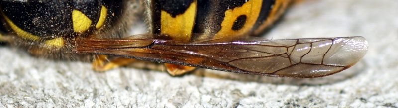 wasp wing