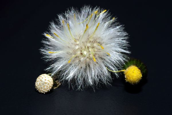 lifecycle of a dandelion
