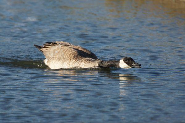 the stalking goose