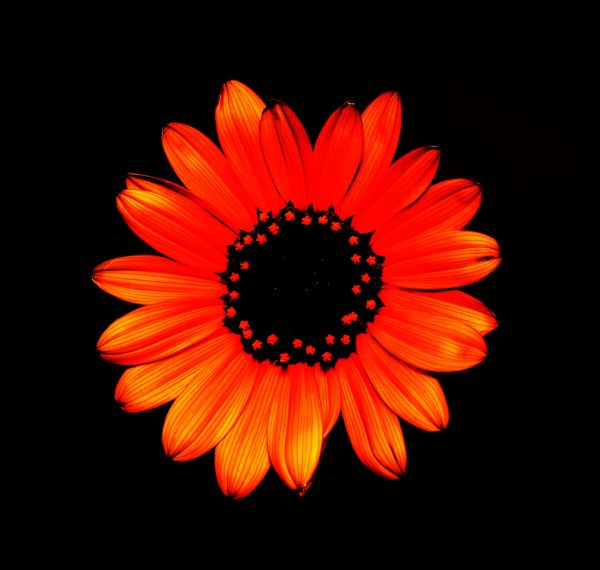 glowing petals