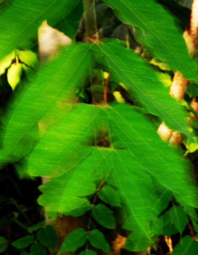 shaky leaves