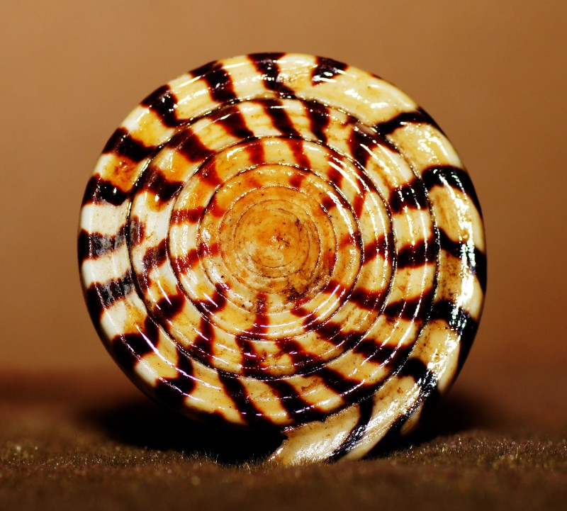 swirled shell
