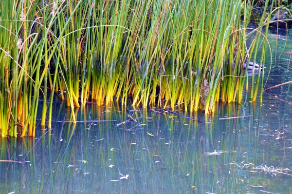 watery reeds