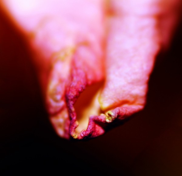 curled petal