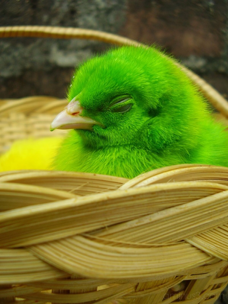 i love chicks