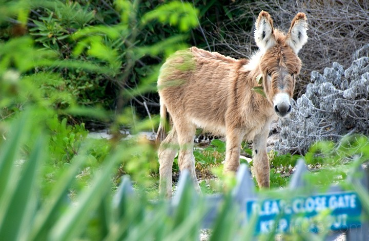 Anegada, BVI - Young Donkey