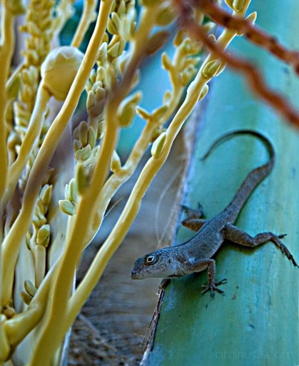 Anegada, BVI - Anole or Gecko on Palm