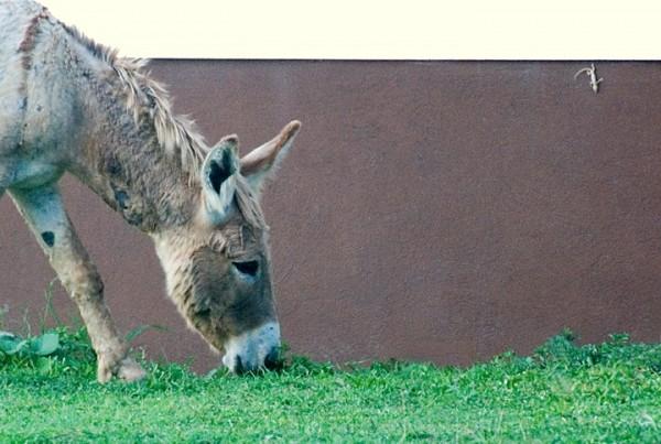 Anegada, BVI - Donkey and Friend