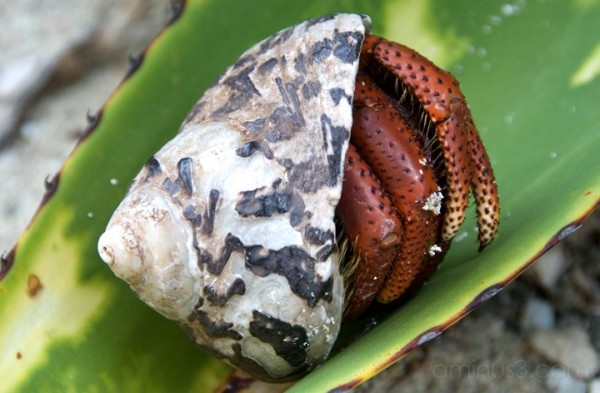 Anegada, BVI - Hermit Crab
