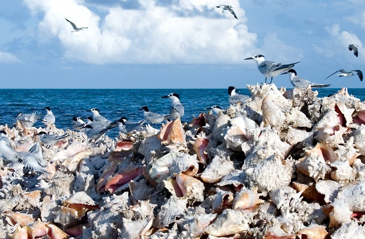 Anegada, BVI - Flock on Conch