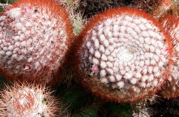 Anegada, BVI - Cactus Cluster