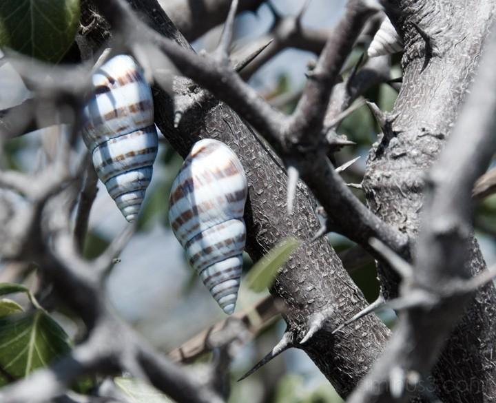 Anegada, BVI - Snails
