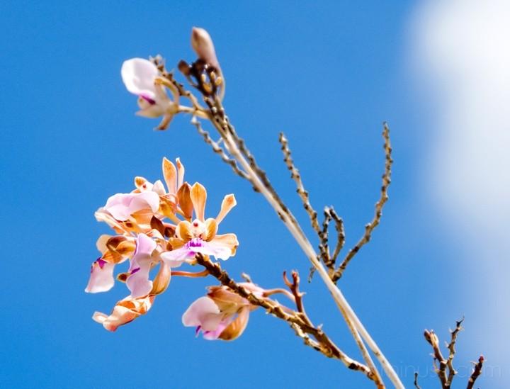 Anegada, BVI - Wild Orchid