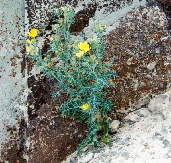 Anegada, BVI - Yellow Thistle