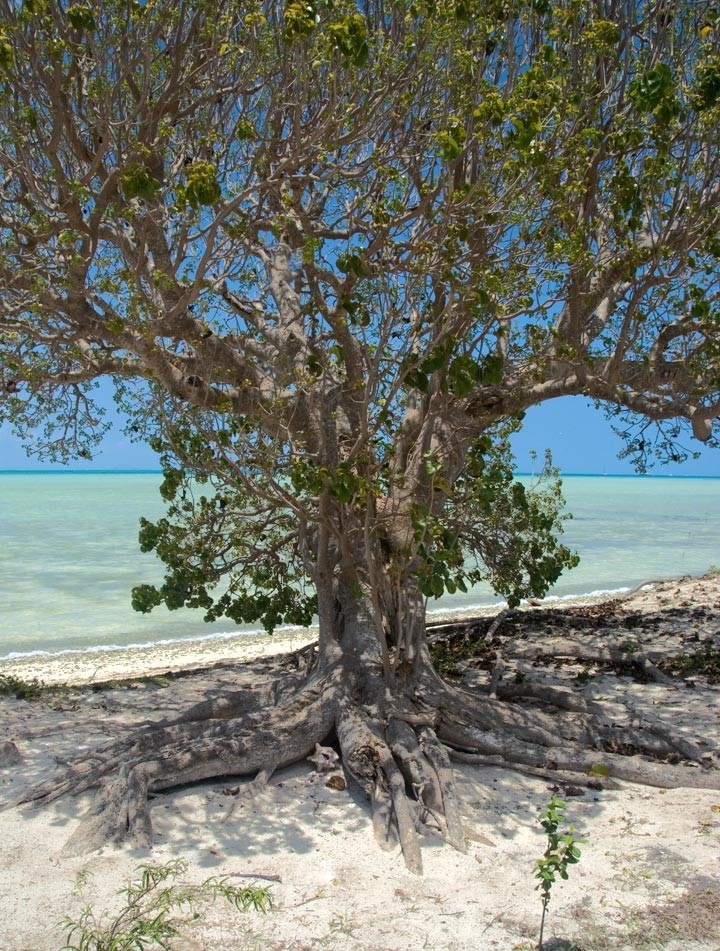 Anegada, BVI - Spreading Tree