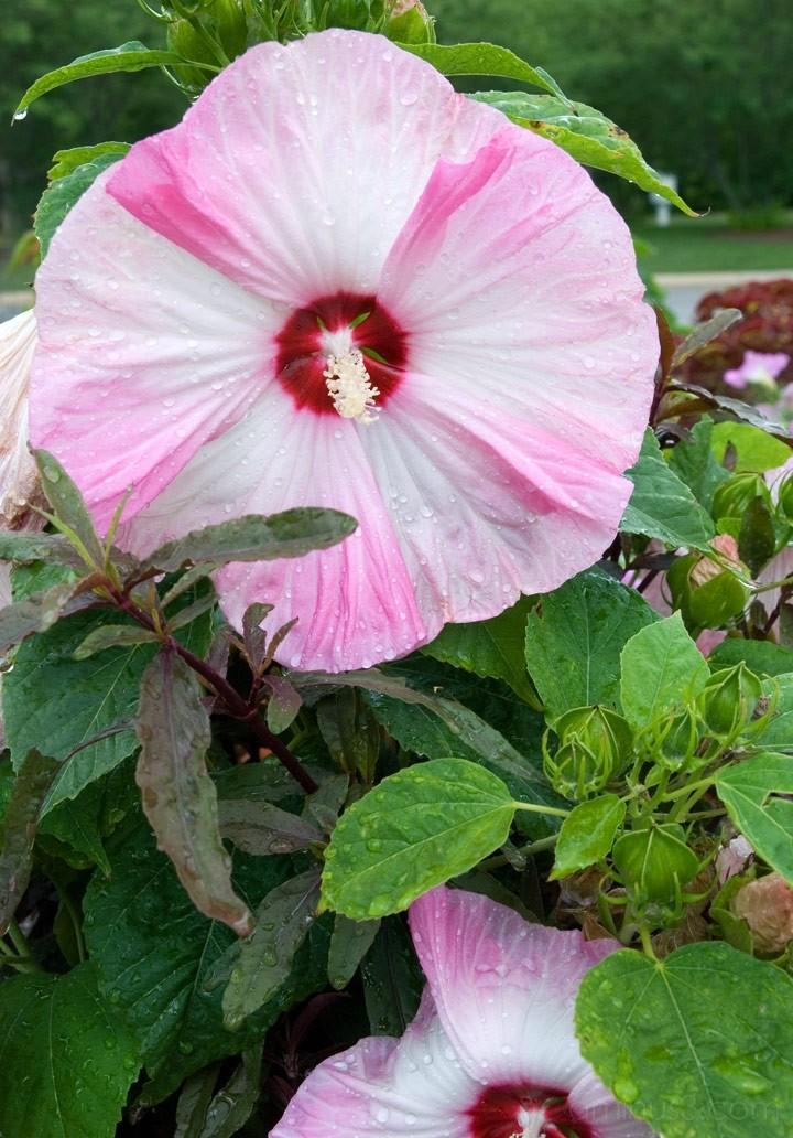 NC Arboretum - Hibiscus