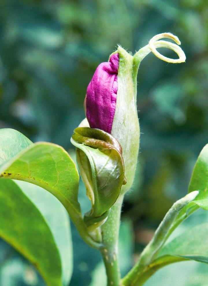 NC Arboretum - Bud
