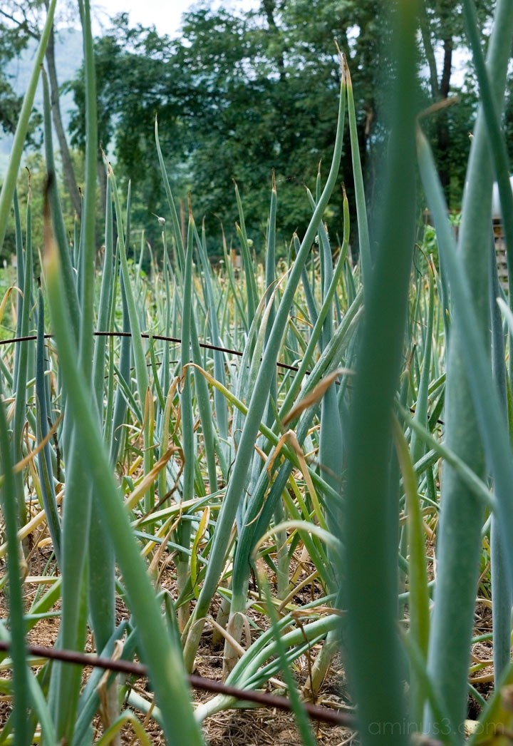 Black Mountain, NC:  Community Garden Onions