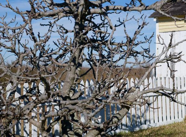 Portsmouth Island:  Bare Bush