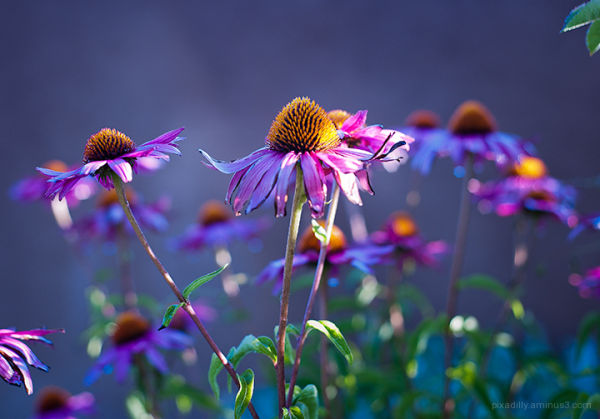 Splashes of Color:  Coneflowers
