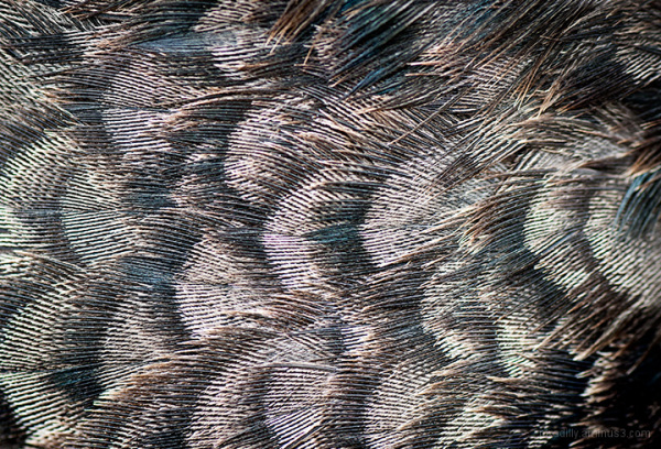 Feathers Overlapping