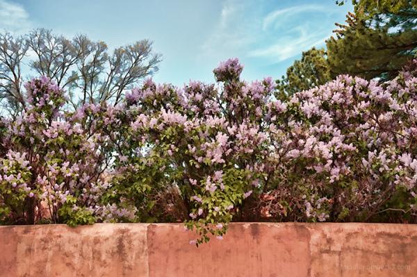 Taos Lilacs