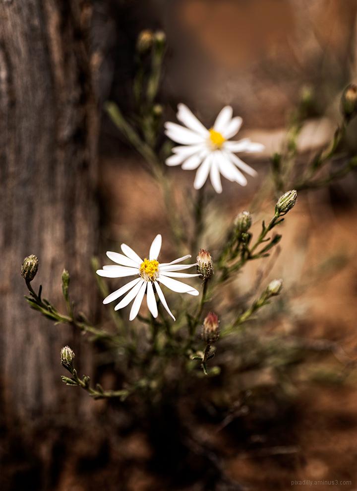 Aster-like Flower